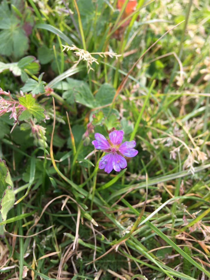 Photograph of a small purple wildflower in Elmfield Park, Cheltenham.
